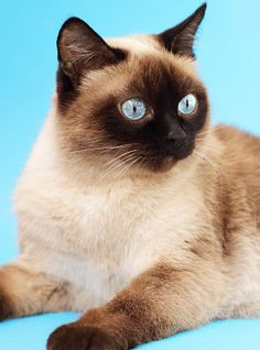 This is the Traditional Siamese cat, a smooth-bodied, robust animal with a rounded head, round blue eyes and classic dark points on a creamy body.