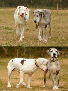 A dog leading his blind dog friend on a walk.