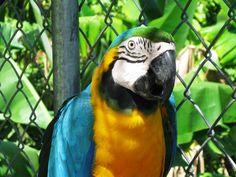 LAURA - BLUE-YELLOW MACAW