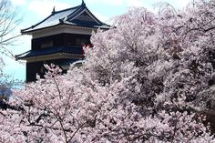 cherry blossoms at the castle. by Tatsuro Kano on Flickr