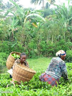 Workers harvesting leaves in a tea plantation in Cameroon....Photo taken by Nancy Butler