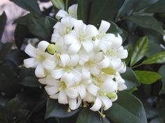 Murraya paniculata - 'Mock Orange', is a relative of Citrus.