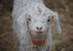 I'm ugly and cute at the same time. I can't wait to get a goat.