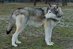 husky wolf mix. I would love to own a wolf one day!