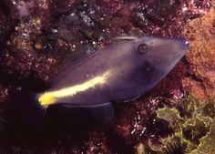 Leatherjacket Yellowstriped (aka Yellowtail) M.flavolineata in GSV SA  Underwater photographer:  David Muirhead