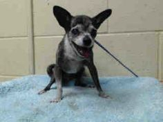 Compassionate rescuer wanted for 19-year-old Chihuahua dumped at busy shelter....Pebbles wasn't alone on Monday as she was surrendered; her two Chihuahua housemates also lost their homes. Both Chrispita and Kokito, approximately 11-years-old are also reeling from their devastating experience; both graduates of the same shelter and here they are - back again.