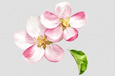 Check out Apple tree blossom PNG by LiliGraphie on Creative Market