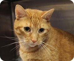 Westampton, NJ - Domestic Shorthair. Meet Winchester 32125046, a cat for adoption. http://www.adoptapet.com/pet/16174973-westampton-new-jersey-cat