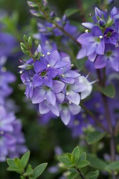 Hebe 'Youngii' - A compact, spreading, evergreen shrub which is smothered in short spikes of large violet flowers all summer, that gradually fade to white. The tiny leaves are dark green and glossy and often have fine red margins. Its spreading habit makes it ideal for rock gardens, or try it planted en-masse along a path or driveway.