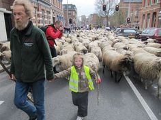 Since 6 years the city of Groningen in the Netherlands, where I happen to live, does not mow the grass in parks, shoulders and other green areas, but hires a  shepherd and his flock to keep the grass short. After a ten day walk the 391 sheep  arrived again today. Yes, it is spring again!