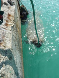 Gina the local manatee,filling up with fresh water! Bahamas vacation!