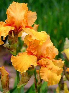 Гладиолус. Plants, Flowers, Plant, Planets
