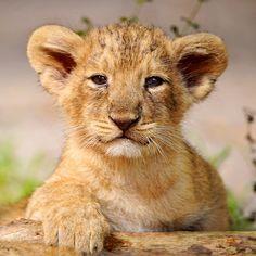 Proud posing cub! by Tambako the Jaguar, via Flickr