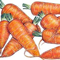 Carrot : Chantenay Red Core - A versatile, good winter keeper with great taste