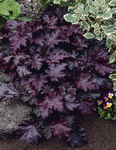 Purppurakeijunkukka Heuchera micrantha 'Palace Purple'. Purppuranpunaiset lehdet ja runsas valkoinen kukinta tekevät ´Palace Purple´-keijunkukasta upean erikoisuuden puutarhaan. Sopii muiden perennojen, pensaiden tai havujen kumppaniksi. Erityisen kaunis muiden keijunkukkien kumppanina sekä erilaisissa ruukuissa. Kukinta: kesä-syyskuu. Kasvukorkeus: 20-40 cm. Kasvupaikka: aurinkoinen, puolivarjoinen. Talvenkesto: kestävä. - 2014 Viherpeukaloilta.
