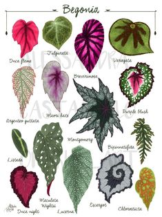 Plante Alocasia, Alocasia Plant, Indoor Plants, Garden Plants, Indoor Gardening, Decoration Plante, Pot Plante, Plant Illustration, Plant Leaves