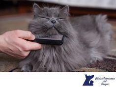 Cuidados para el pelo de mi gato. CLÍNICA VETERINARIA DEL BOSQUE. Es muy recomendable hacernos el hábito de cepillar el pelaje de tu gato por lo menos una vez a la semana, pero, lo ideal es diario, principalmente para prevenir enfermedades dermatológicas, si tienes dudas, acude con nosotros en Clínica Veterinaria del Bosque para orientarte sobre los cuidados para cada tipo de mascota. Te invitamos a comunicarse con nosotros al teléfono 5360-3311. www.veterinariadelbosque.com  #esteticacanina