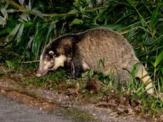 Image result for Hog badgerfacts