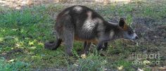 Little Wallaby 2 Photograph by Naomi Burgess #wallaby #animals #photography