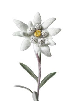 edelweiss-this would be cool to make out of felt