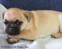 Betsy, female Frenchie Pug.  DOB: Nov 27, 2015 $775.00. Call 570-922-1765.