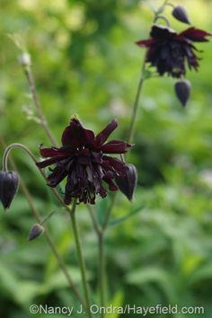 Black columbine (Aquilegia) at Hayefield.com, I love columbines of every color, they are showy and I love them.