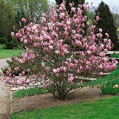 Magnolien-Set, bestehend aus je 1 Pflanze Tulpenmagnolie, Sternmagnolie und Sommermagnolie