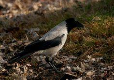 Cornacchia grigia  IMG_42469.jpg - CORNACCHIA GRIGIA - Hooded Crow - Corvus corone cornix - Luogo: Lido di Arona (NO) - Autore: Alvaro