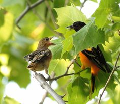 Daddy Duty by Andrea Cowart on Capture Memphis // Father Baltimore Oriole doing his job. Taking care of his children. This daddy is feeding the young one a caterpillar. It was a great find. The orioles haven't nested in this particular area in several years, due to too much habitat destruction and too many humans complaining they want the park to be for themselves, and not wildlife