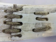 Ivory and bone knife (Inuit, Canada) demonstrating damage to the ivory repaired with animal sinew (courtesy Pitt Rivers Museum, University of Oxford)