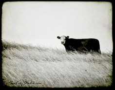 One Cow Hill - 11x14 - cow photography black and white photo nature farm cattle ranch cowboy home decor fine art print