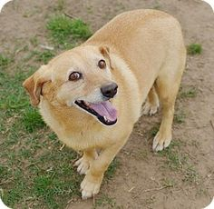 Iola, TX - Corgi/Dachshund Mix. Meet Shorty, a dog for adoption. http://www.adoptapet.com/pet/15108747-iola-texas-corgi-mix