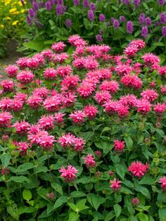"Monarda 'Pink Lace' Sun to Part shade, 12-16""H, 18-24"" W, Summer"