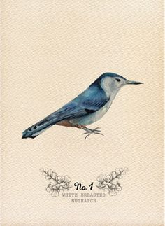A Field Journal: Watercolor Wings , White Breasted Nuthatch Watercolor Bird, Watercolor Animals, Watercolor Paintings, Bird Paintings, Watercolours, Bird Illustration, Illustrations, The Design Files, Bird Prints