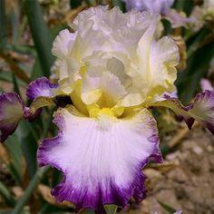 Iris 'Liseré Pourpre'