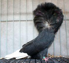 Jacobin Pigeon, Fantail Pigeon, Bald Eagle, Bird, Iphone, Animals, Black, Birds, Animais