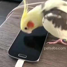 Cockatiel Parrot sing Samsung whistle tone,Funny, Funny Categories Fuunyy crebit: on IG fun fact: i actually used this video to train my birds the samsung whistle tone, so feel fre. Funny Birds, Cute Birds, Cute Little Animals, Cute Funny Animals, Funny Animal Memes, Funny Animal Pictures, Pet Pictures, Tierischer Humor, Funny Parrots