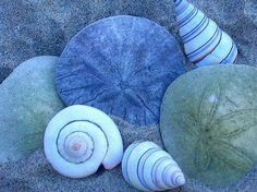 Sand  dollars and spiral shells