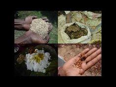 Medicinal Rice B4 Formulations for Maida Allergy: Pankaj Oudhia's Medici...