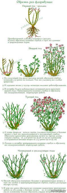 Обрезка роз. часть 3. Флорибунда.: Группа Цветы и флористика