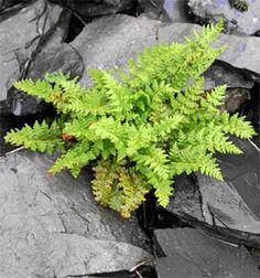 Oblong woodsia