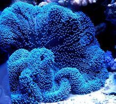 Blue anemone - Stichodactyla gigantea