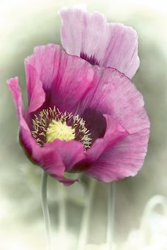 ~~Poppies by Catherine Hamilton-Veal~~