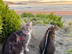 """I hear you thinking: """"You walk your cats?!"""" Yes I do.  Festo & Theo are indoor cats living in an inner city apartment, so when we  have time and the family bach is available, then we take our cats away with  us.  While there, I take my cats to a private track leading to Waikanae beach  where they are able to walk and run on the sand dunes."""