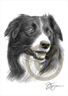 Dog Border Collie pencil drawing print  A4 size  artwork