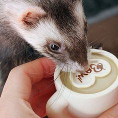 Ferret Lattes Are Big Business for Starbucks Businessweek reports some new ferret lifestyle trends with implications for luxury brands  chiefly Starbucks, whose lattes have proven irresistible to the fidgety patrons. The last five years have seen an explosion of middle and upper-middle class ferrets, writes Carrie Dell. And they cant get enough Starbucks. Dont be surprised if you start seeing tiny tables and chairs in your local coffee house. Via yuhiro.