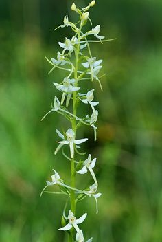 Platanthera bifolia ssp. latiflora - Flickr - Photo Sharing!