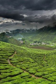 Green tea field in China via PicsVisit. Designer Man Cave