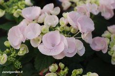 ortensia in rosa talco