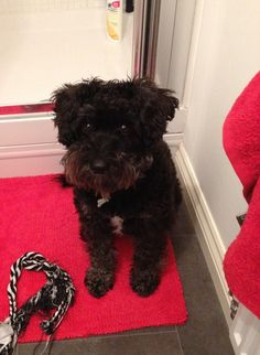 Saw a Schnoodle that looked very much like this one today. So cute!